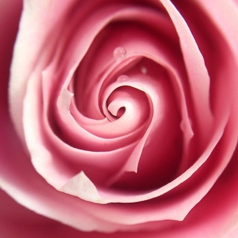 Rose - low res.png
