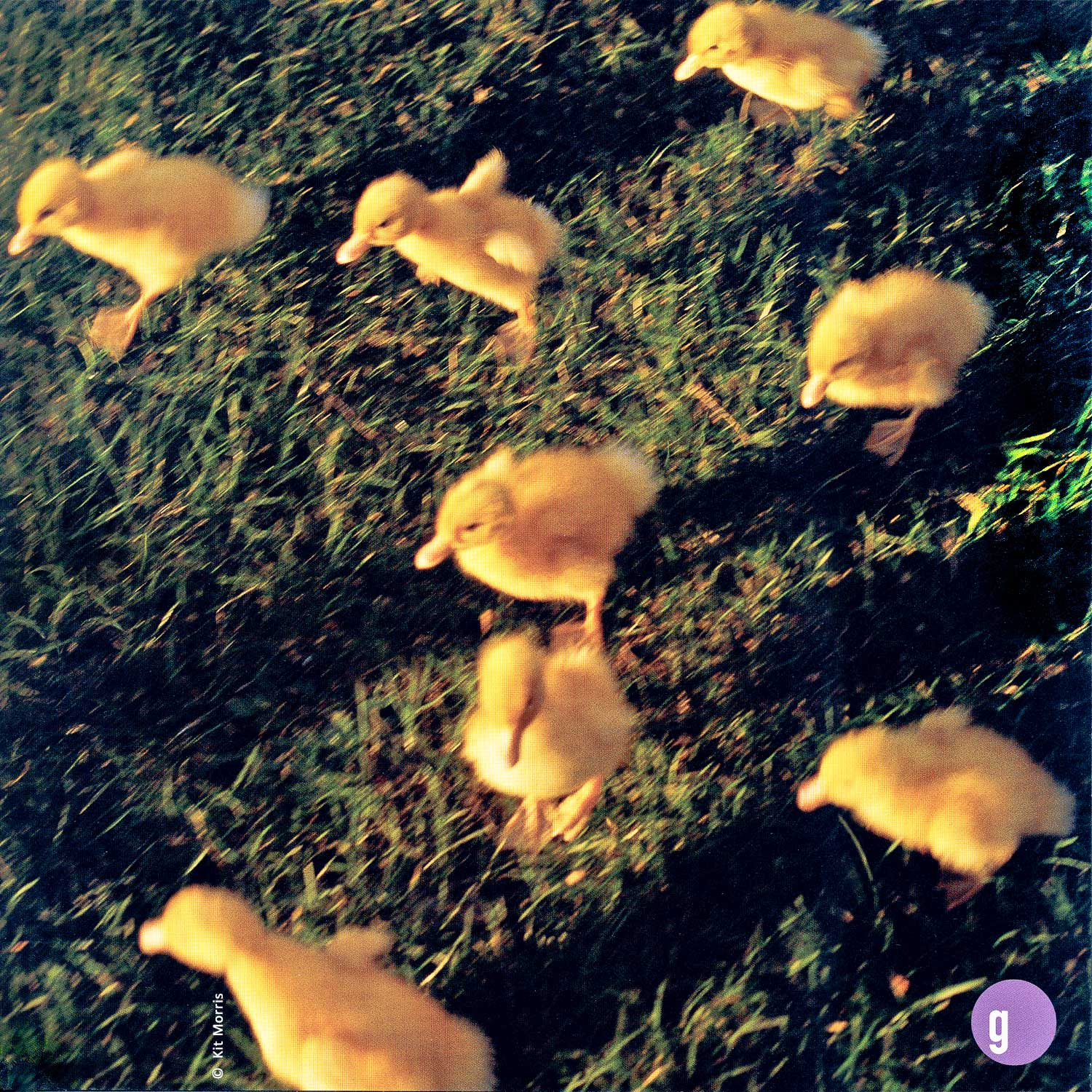 photo of eight yellow baby ducklings running across grass used for an in-store Easter poster