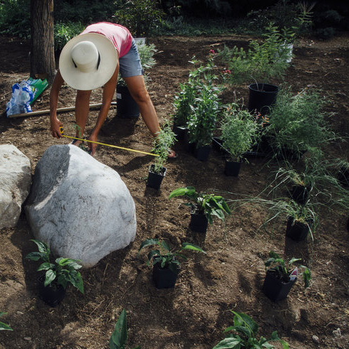 Lince Rossa Planting
