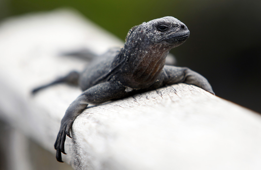 Marine Iguana - The Galapagos Islands