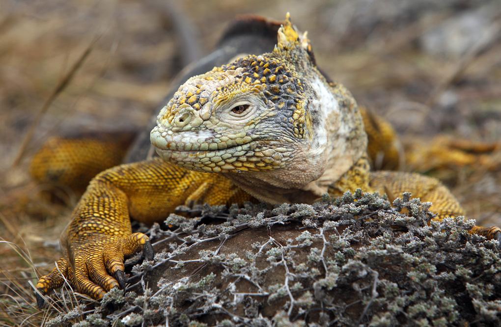 Land Iguana - The Galapagos Islands