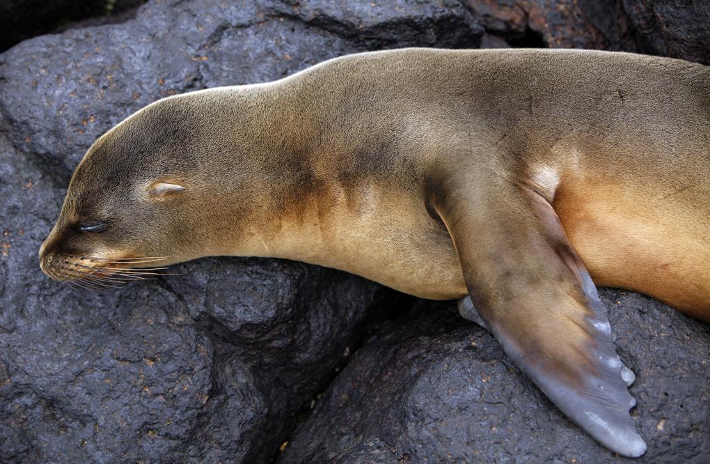Young Sleeping Sea Lion - The Galapagos Island