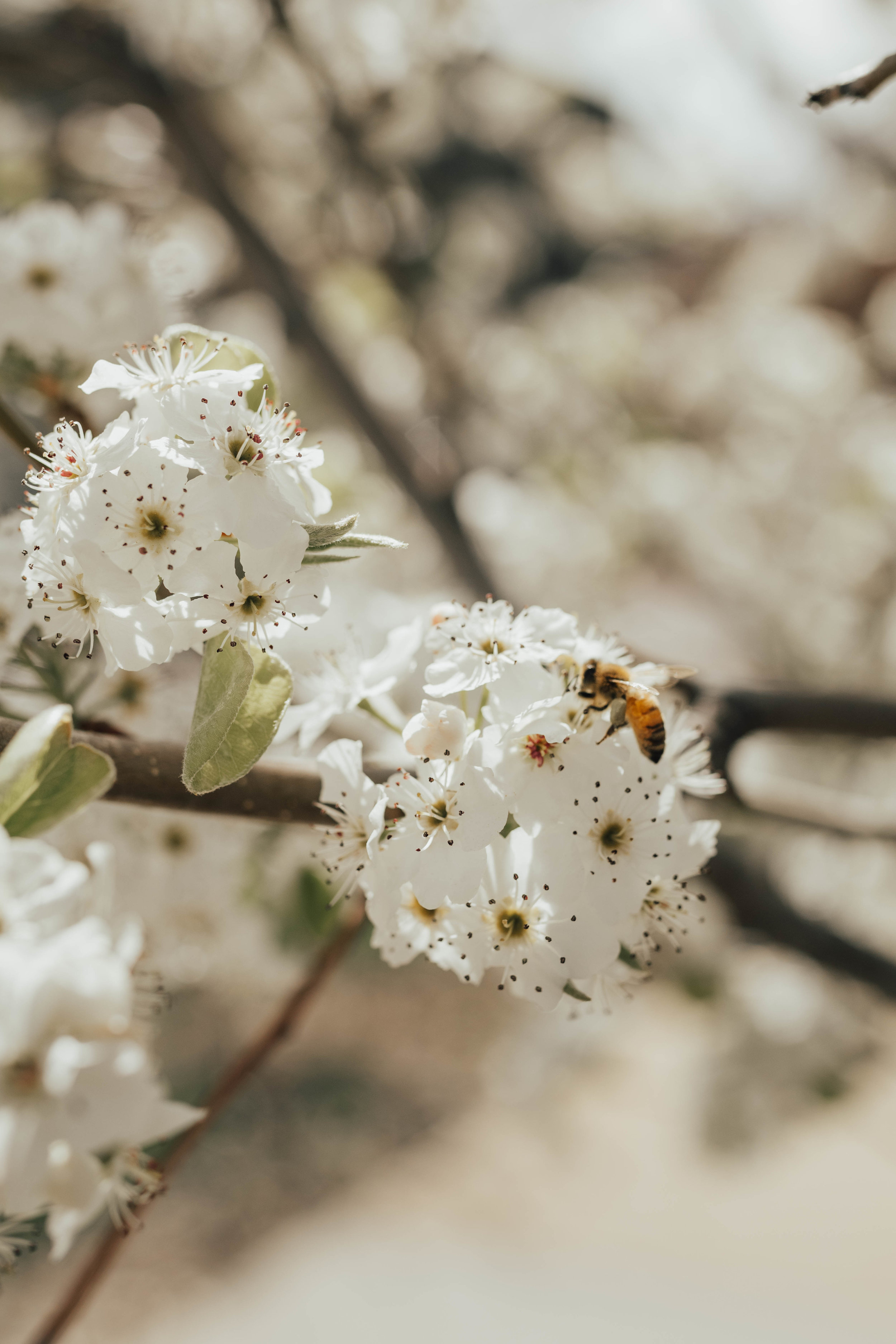 Bumblebee on cherry blossoms