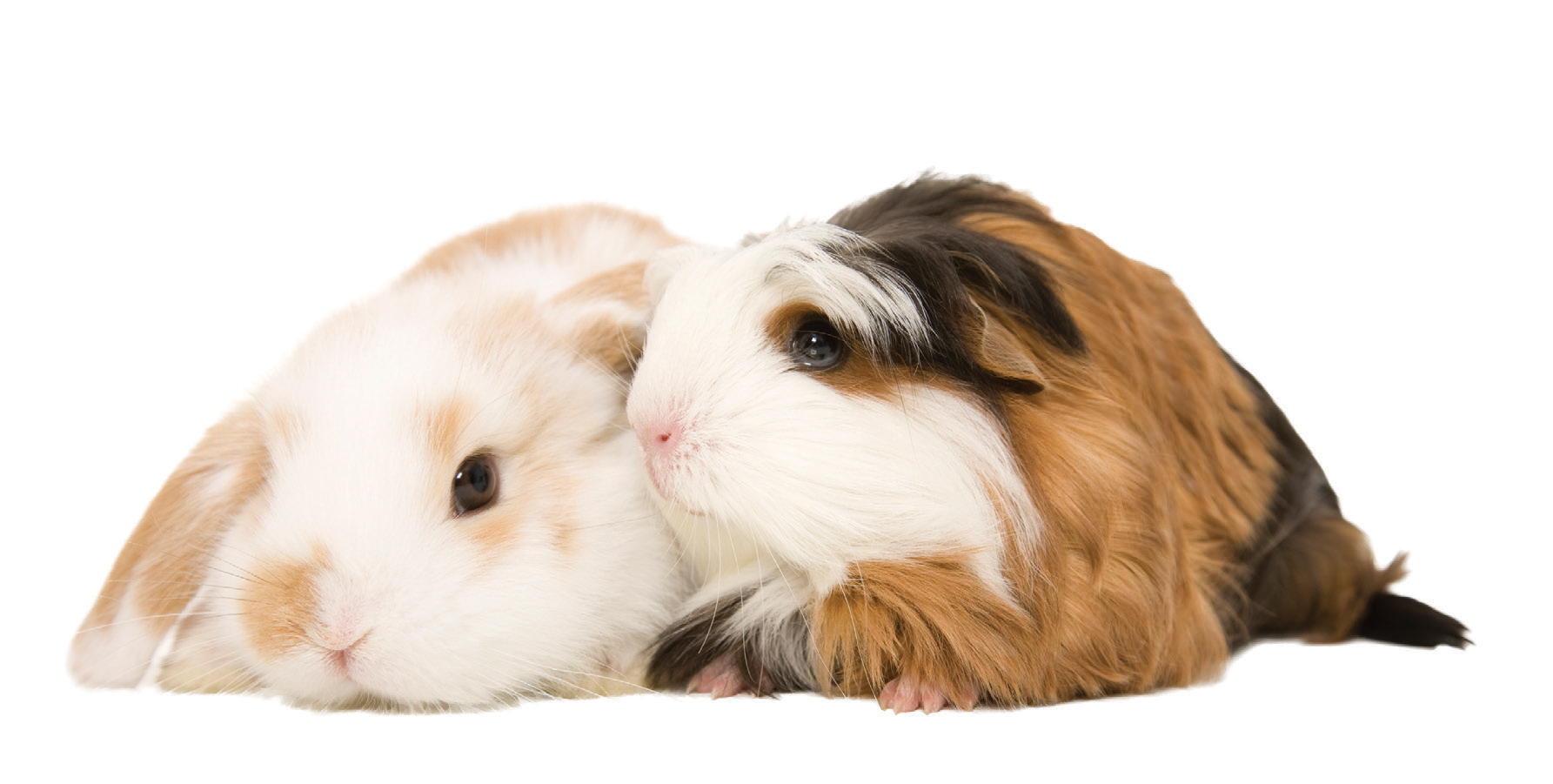 Bunny&Guinea.jpg