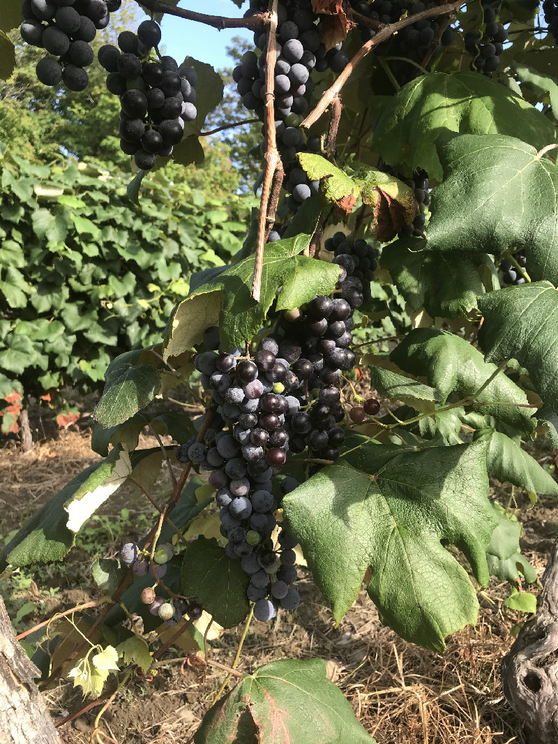 Grapes hanging on vines in Westfield, NY vineyard