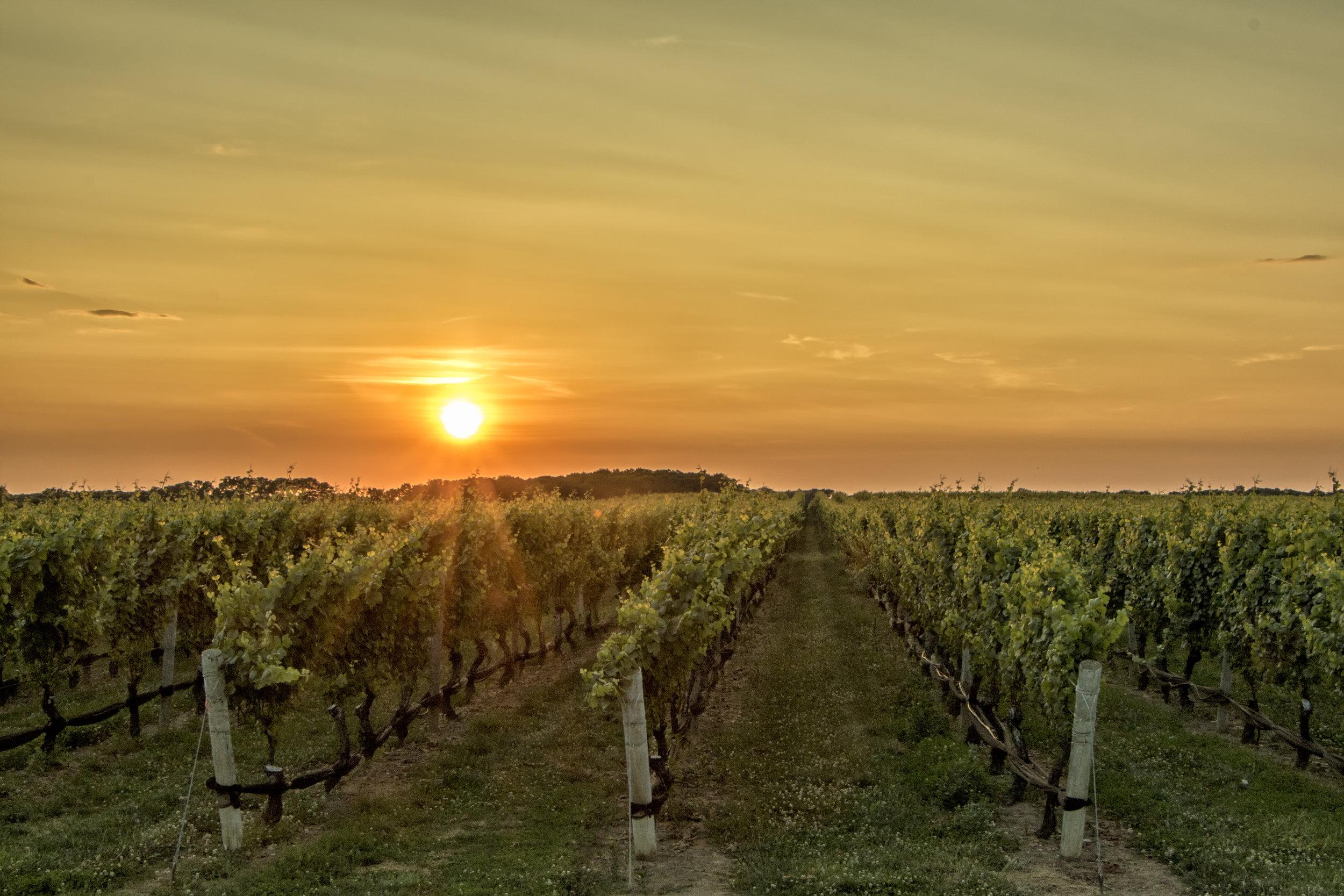 Sun setting behind grape vineyards