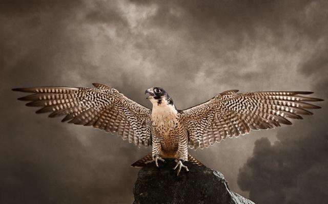 Tariq Dajani, Peregrine Falcon (Falco Peregrinus) 2011. Courtesy of the artist and Mestaria