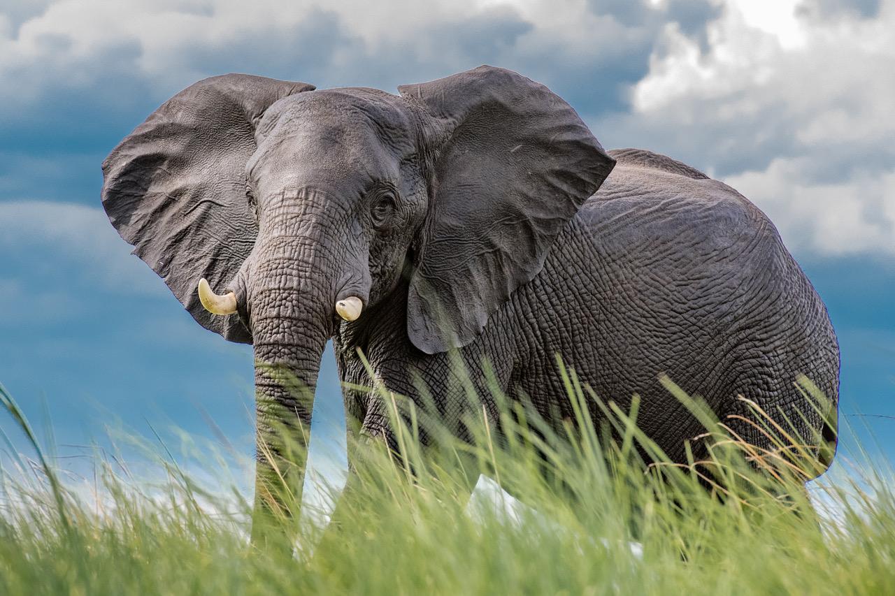 Elephant on the banks of the Chobe River. Courtesy Harold Vanderschmidt.