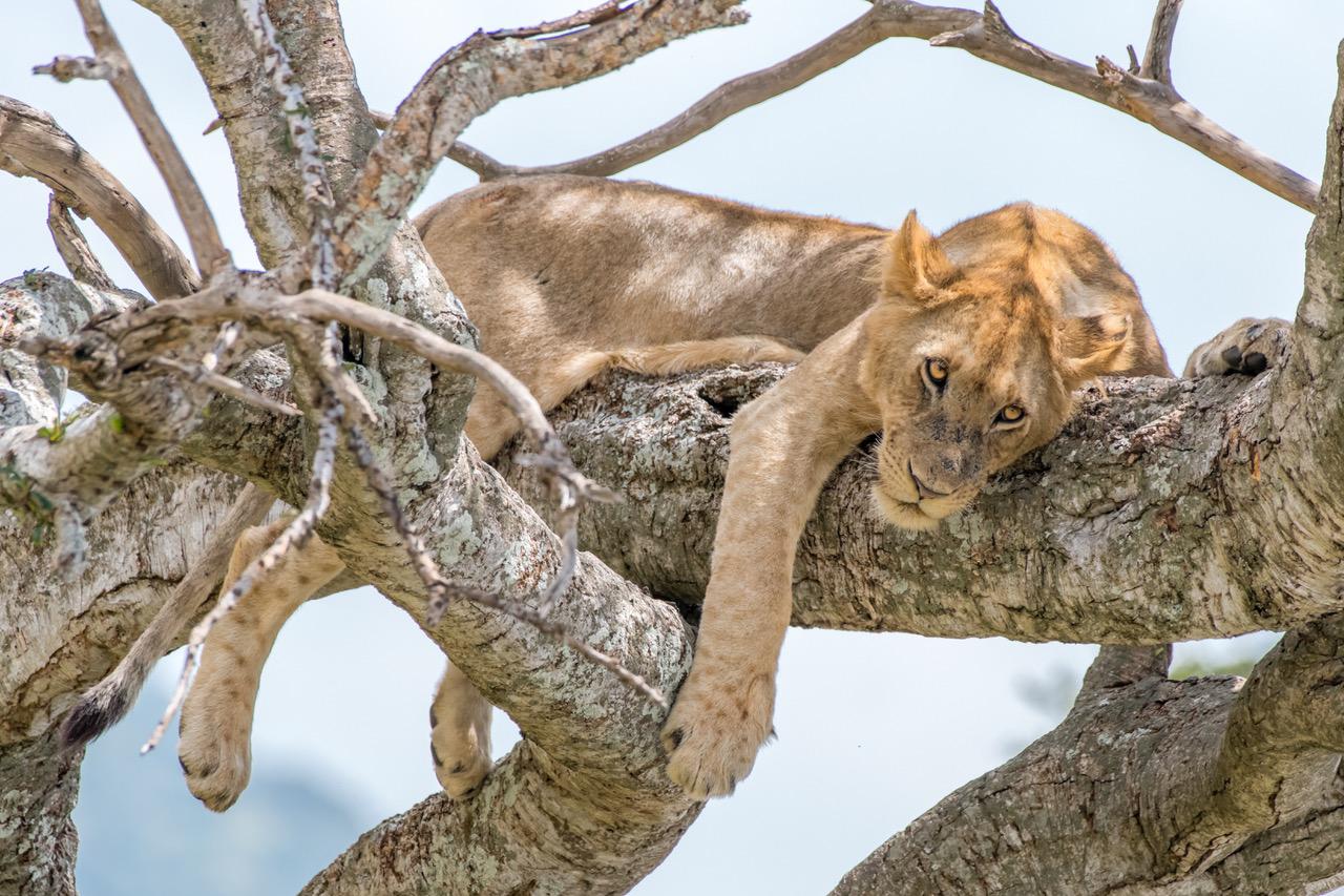 Lion sleeping in a tree in the Masai Mara Triangle. Courtesy Harold Vanderschmidt.