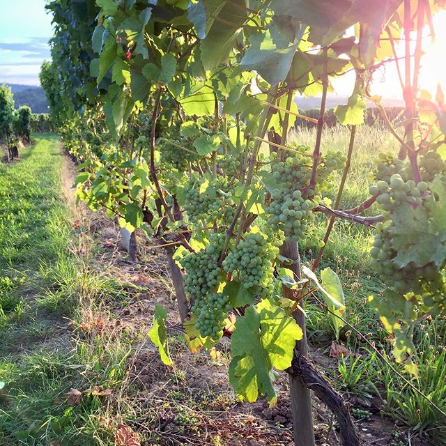 Good morning from the #beautiful #vineyard 🤗🌟😎... #morningwalk #goodmorning #friday #weekendvibes #weekend #walking #winewalk #winetour #tour #picoftheday #pic #takingatour #instawine #winestagram #beautifulview #beautifulplace  #vineyards #weinberg #wein #vino #wine #wineo #nature #enjoylife #love #summer #summertime @wine_tourism @winetouristmag @mywinetours @winetourbooking @tour_insta @epicureanwinetours @winetourer @wineteller @wines_of_germany @winelicious_ @winerylovers @winedestinations