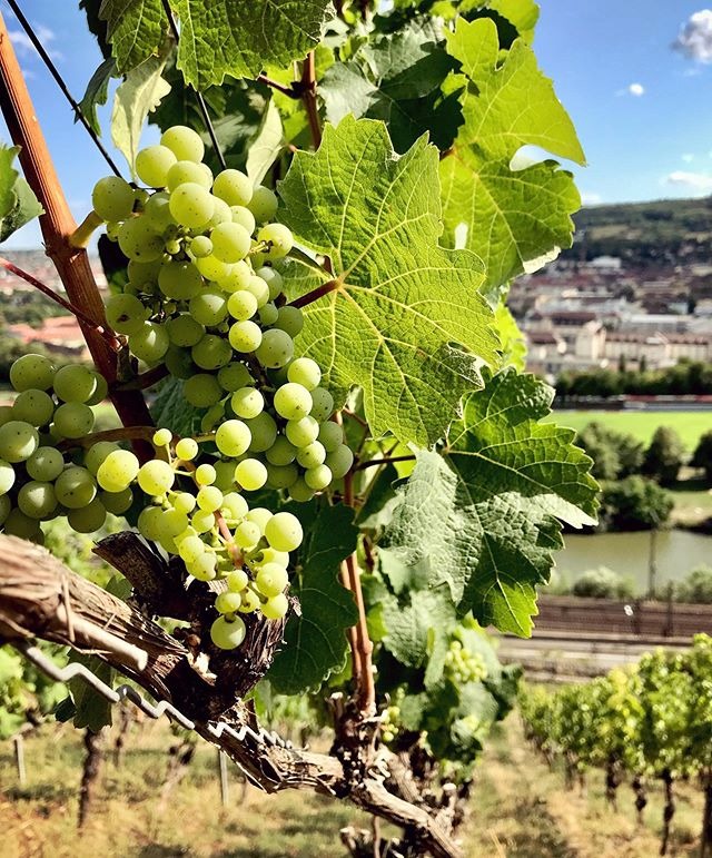 - Werbung - Beautiful #grapes on the #würzburgerstein 👏😊👍. 2019 might become a great vintage again 🌟🥂 #beautiful #vineyard #walking #winewalk #winetour #tour #picoftheday #pic #takingatour #instawine #winestagram #beautifulview #beautifulplace  #vineyards #weinberg #wein #vino #wine #wineo #nature #tuesday #enjoylife #love #summer #summertime @wine_tourism @winetouristmag @mywinetours @winetourbooking @tour_insta @epicureanwinetours @winetourer @wineteller @wines_of_germany @winelicious_ @winerylovers @winedestinations