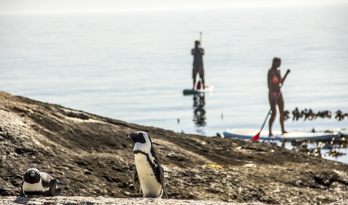 Cape Stand Up Paddling with Penguins (4).jpg