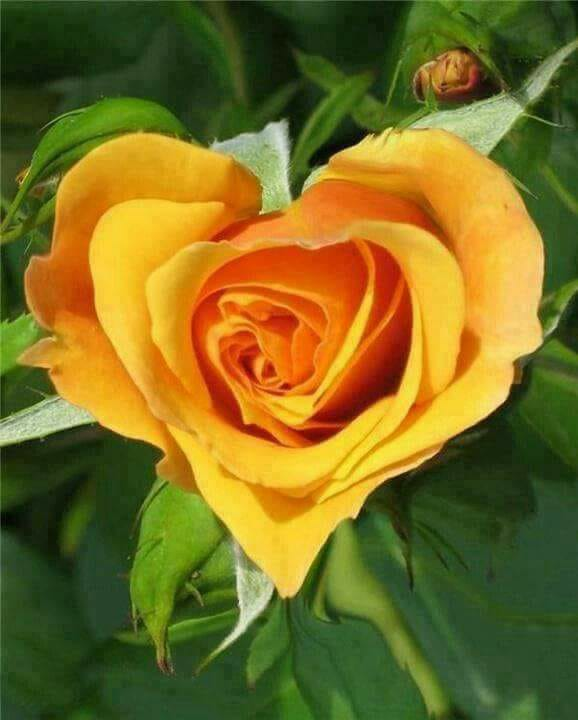 yellow heart rose.jpg