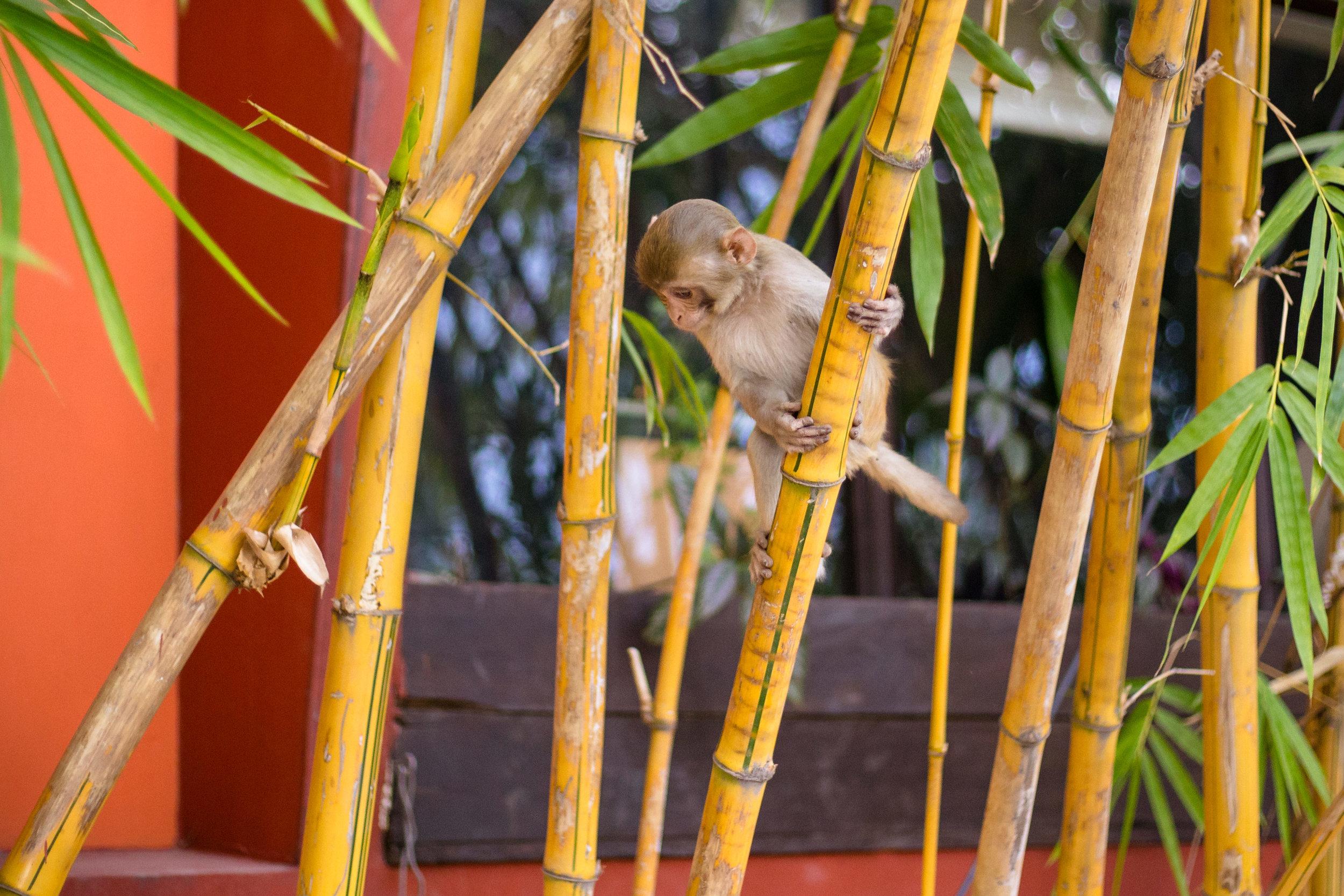 rishikesh monkey.jpg