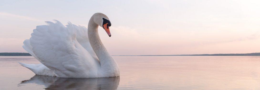 Swan-1090x380.jpg