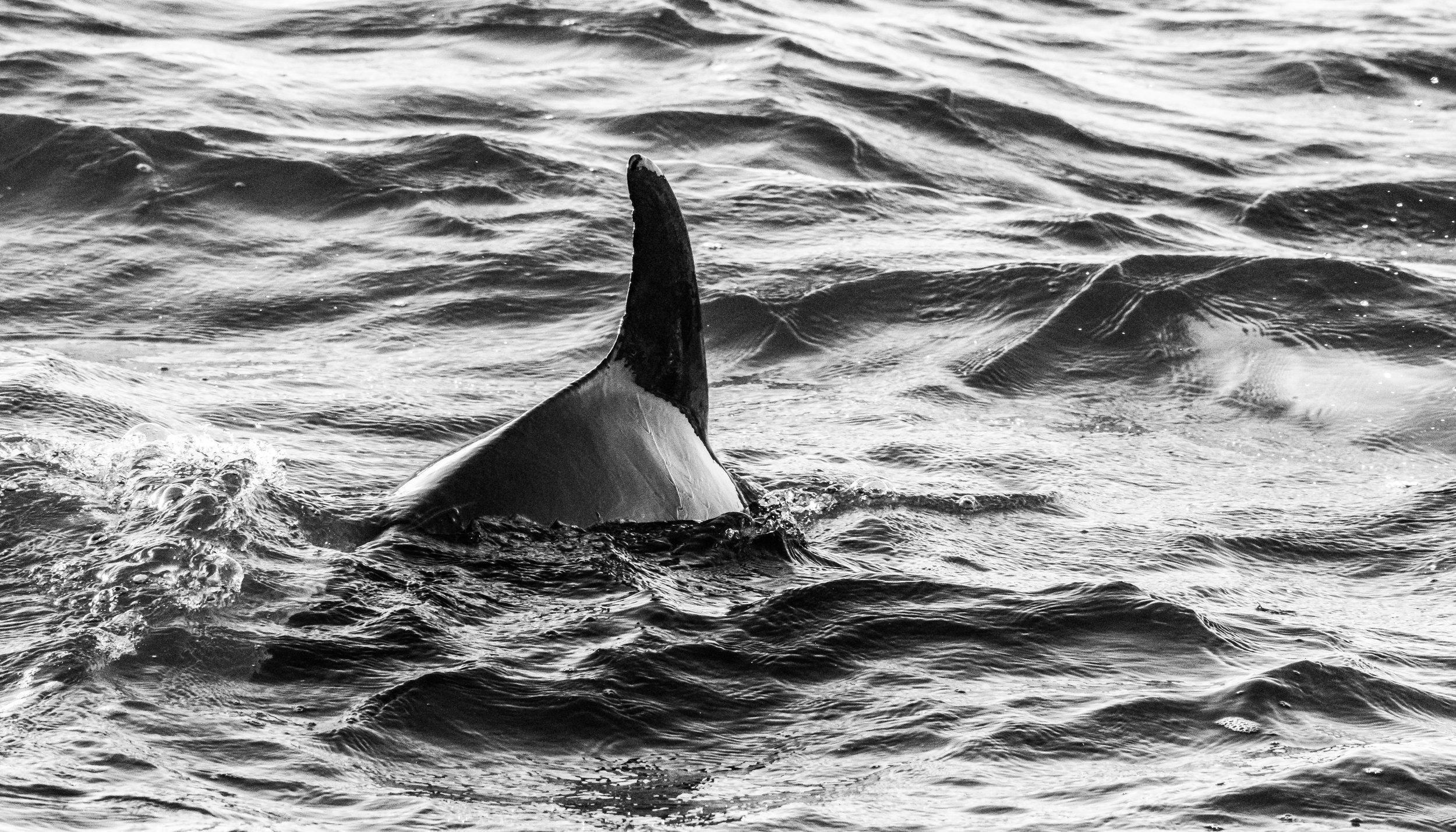 Dolphins B-W-8.JPG