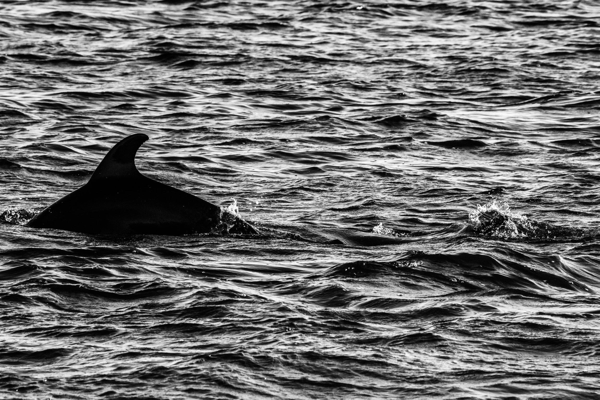 Dolphins B-W-10.JPG