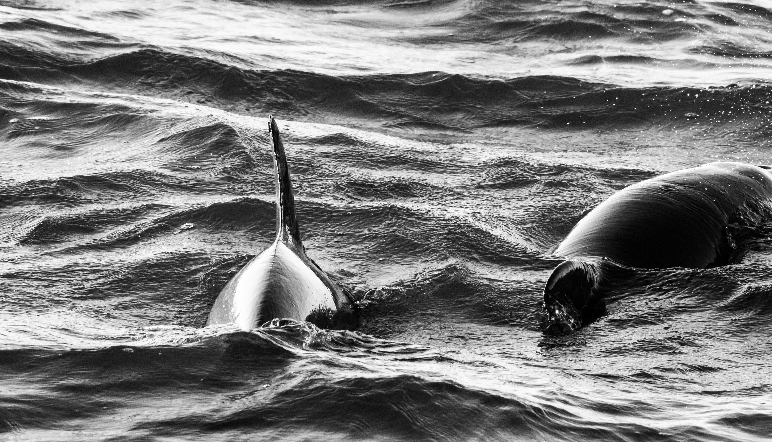 Dolphins B-W-7.JPG