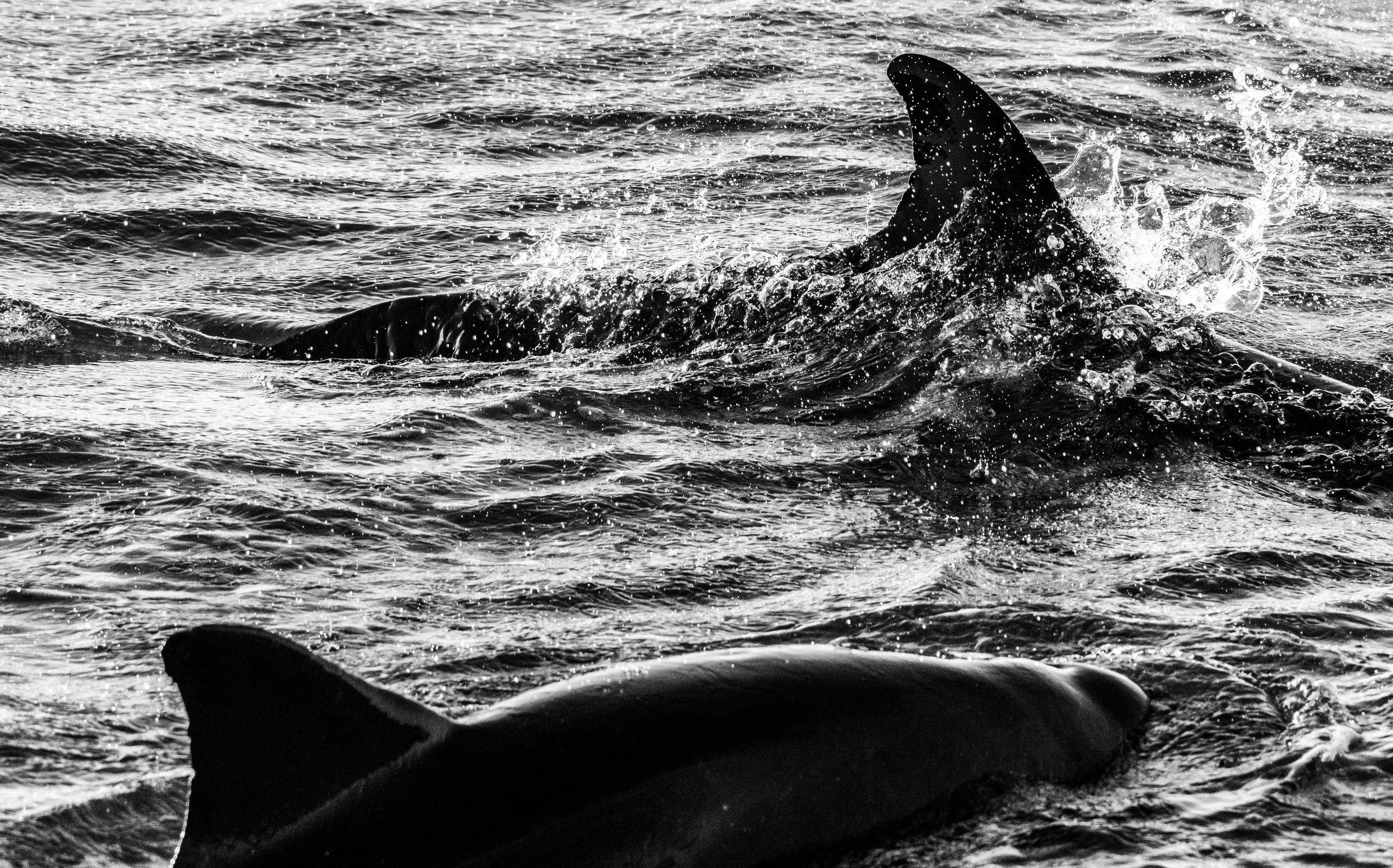 Dolphins B-W-9.JPG