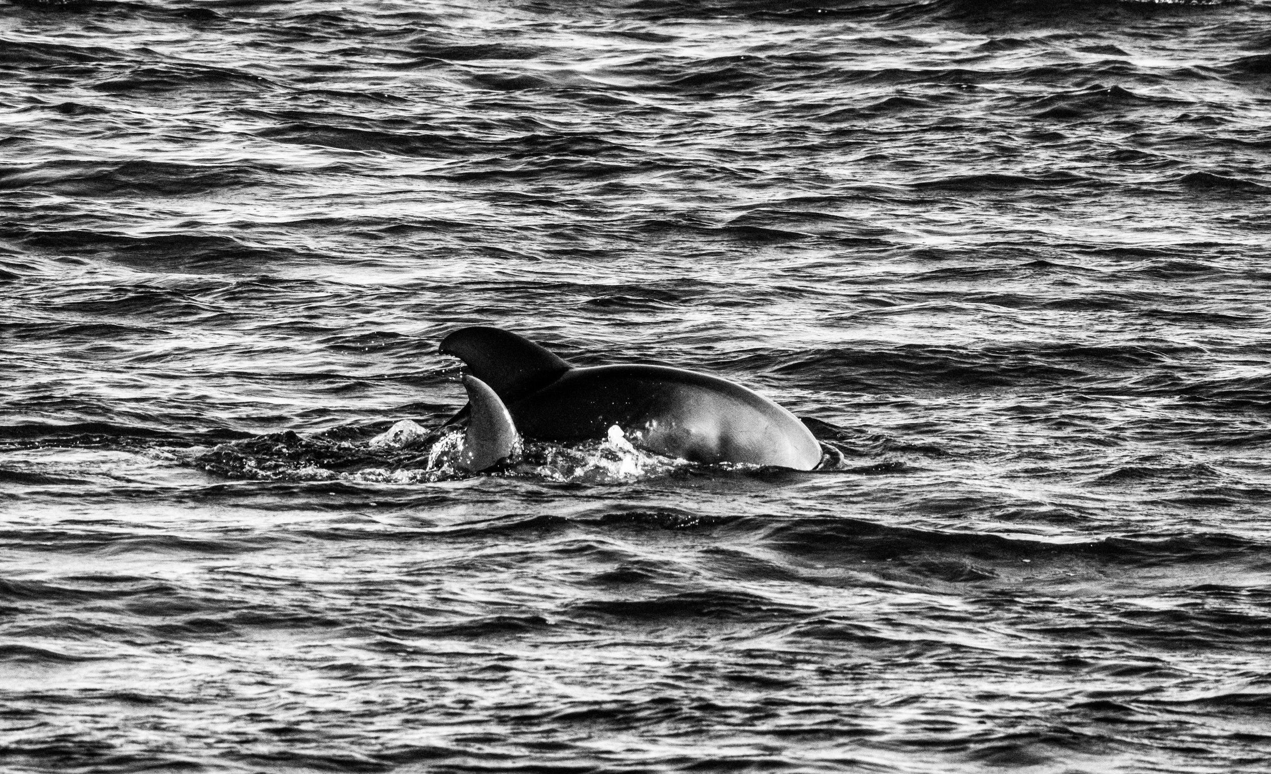 Dolphins B-W.JPG