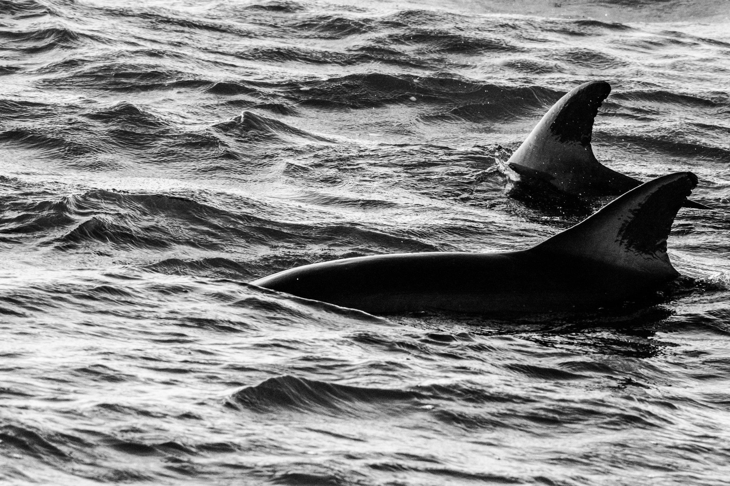 Dolphins B-W-4.JPG