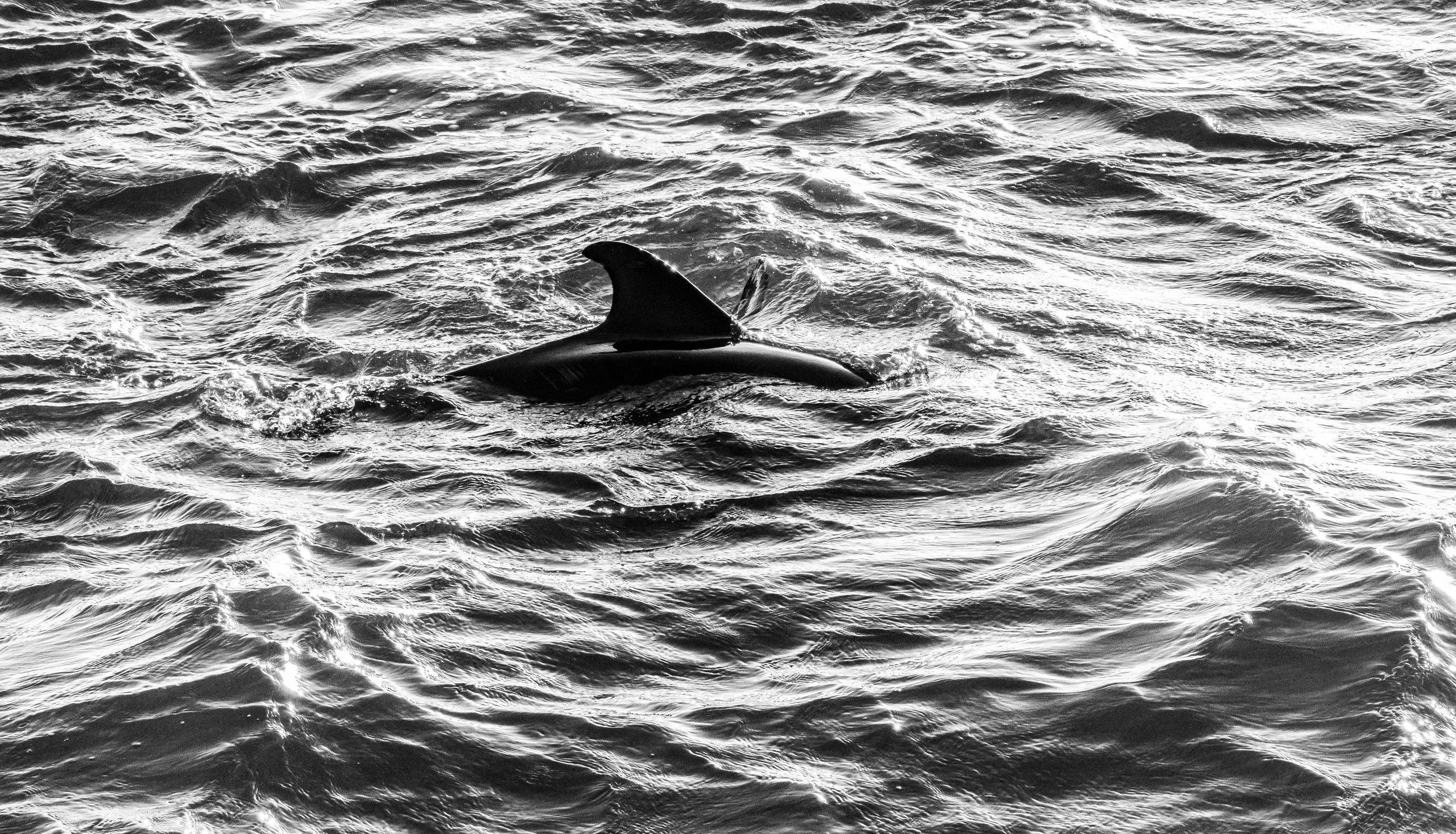 Dolphins B-W-2.JPG
