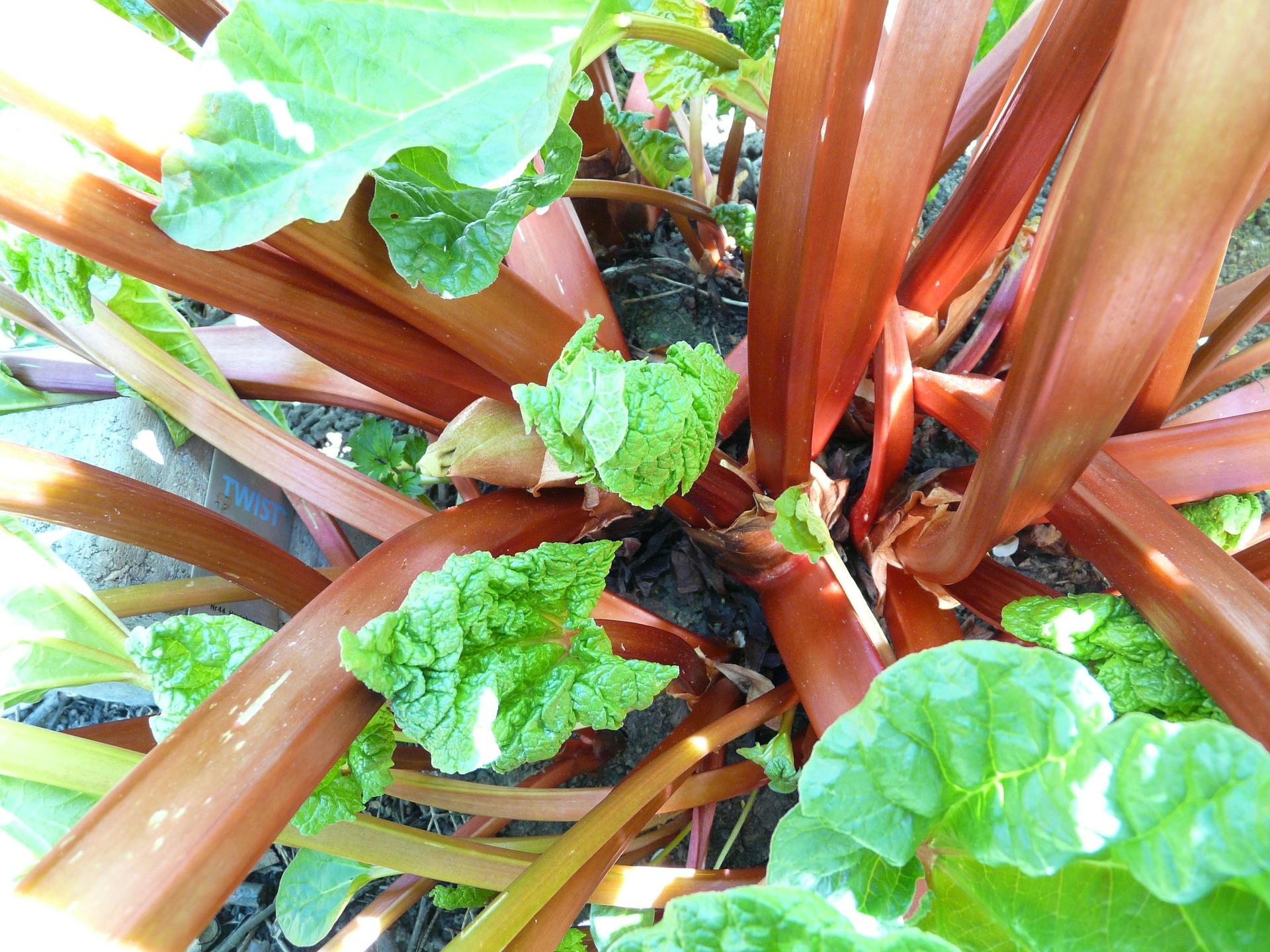 rhubarb-54084_1920.jpg