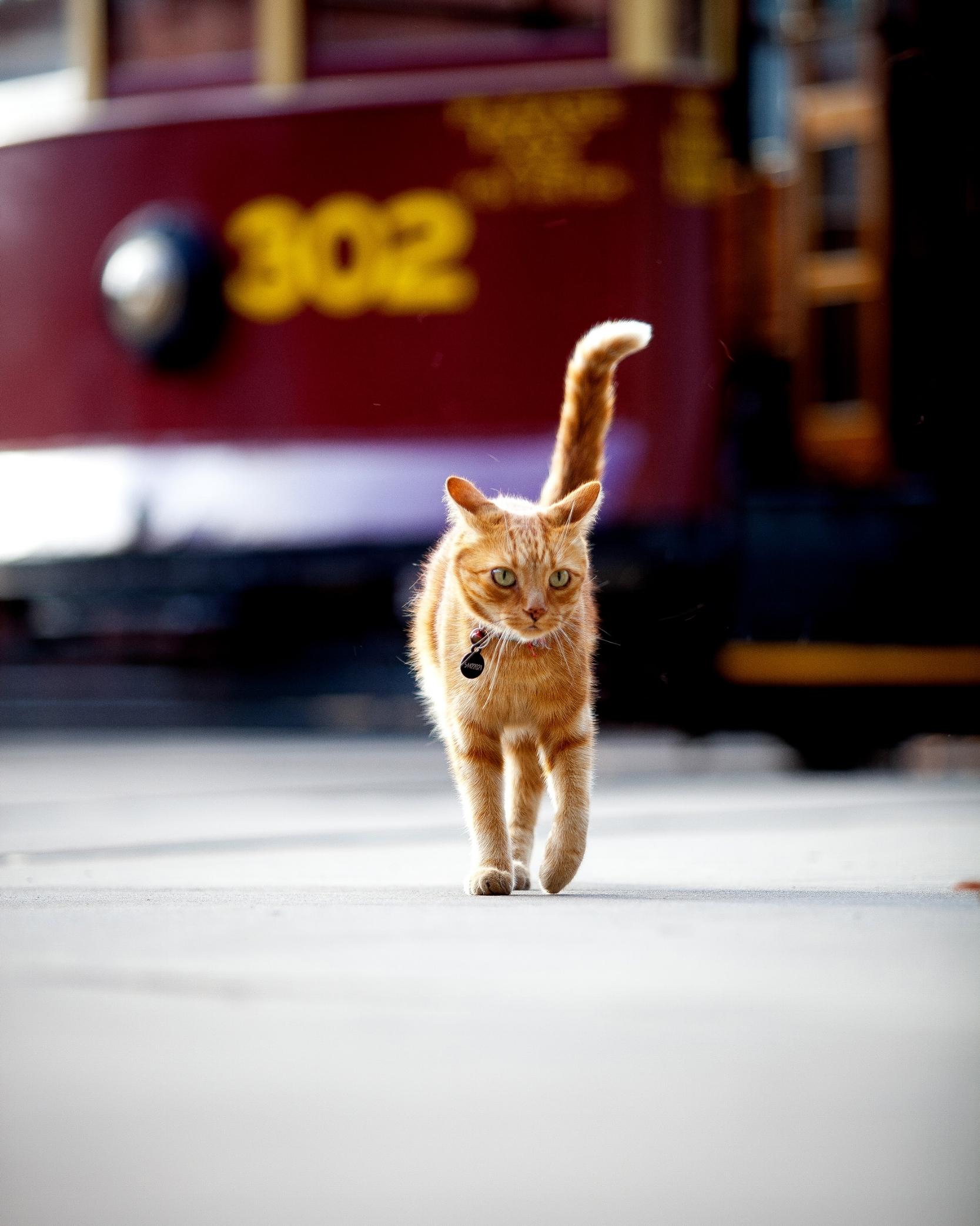 Birney the cat in front of Birney Tram No 302.jpg