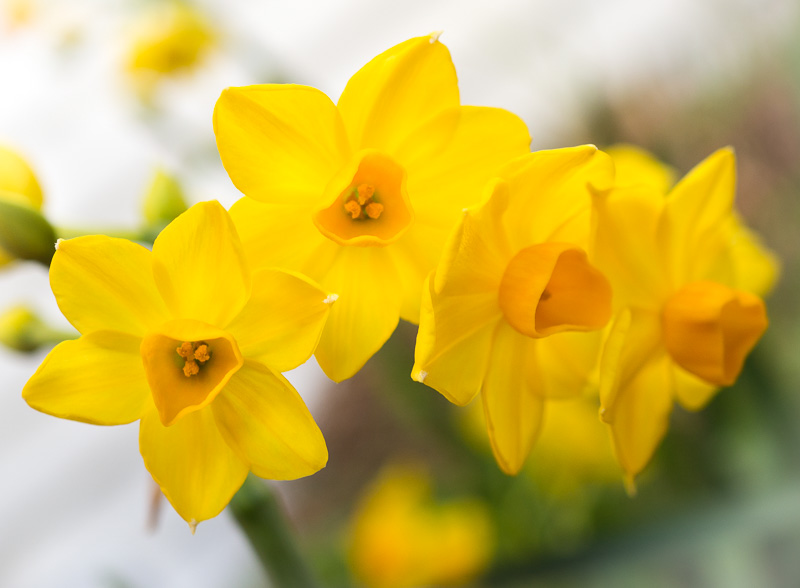 Jonquils - slightly wind battered but resolutely cheerful.