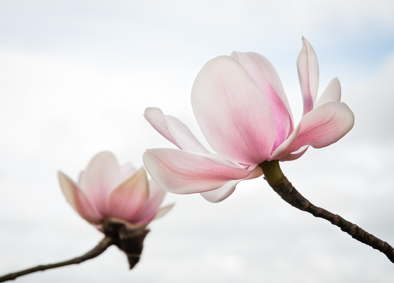 Late winter magnolia flowers look so pretty against the sky - but they are growing on the edge of a hill, exposed to battering by gales. Still they thrive.
