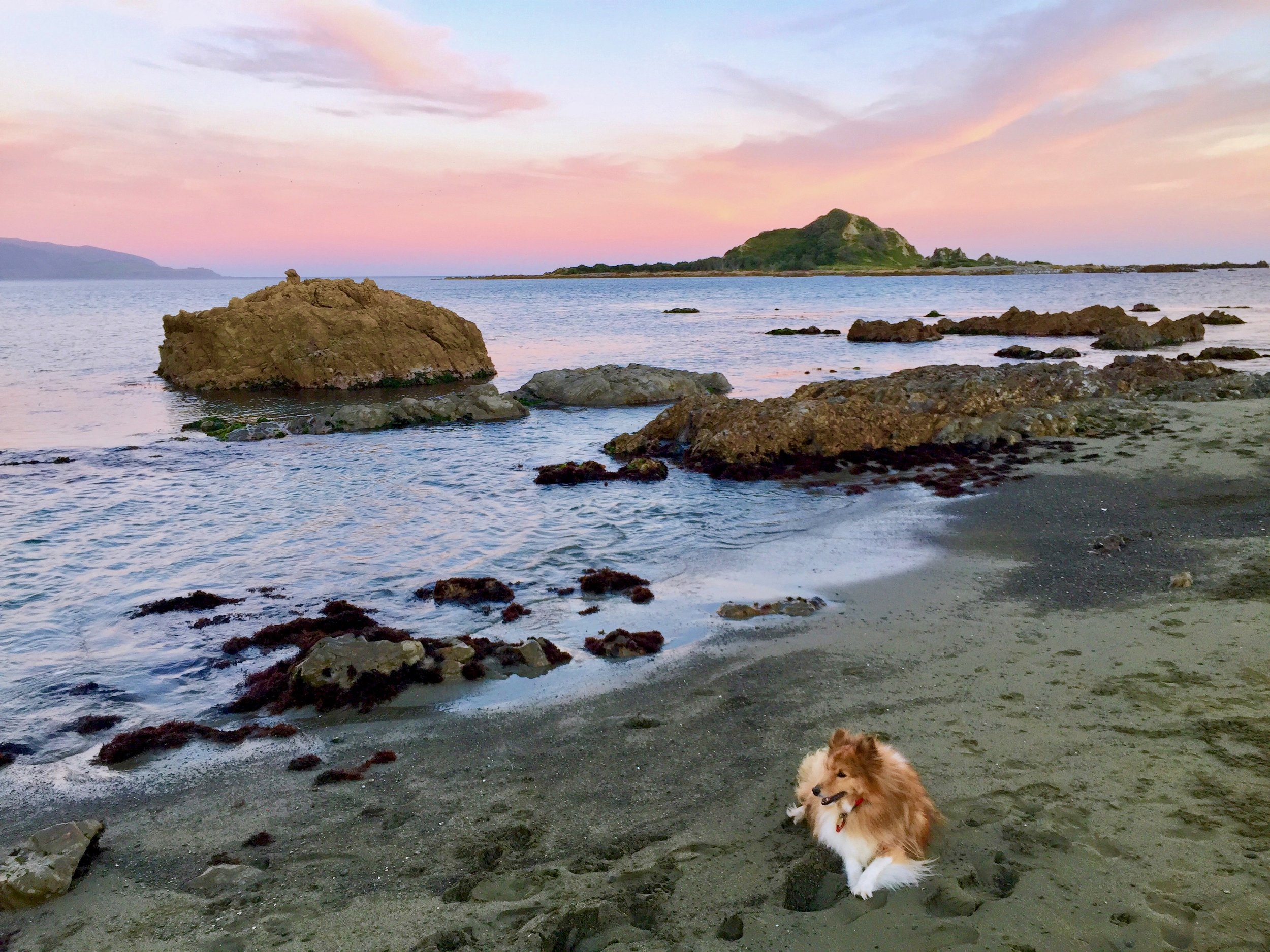 Alfie the Sheltie keeping a characteristic eye on everything at Island Bay beach, as the sun was setting.