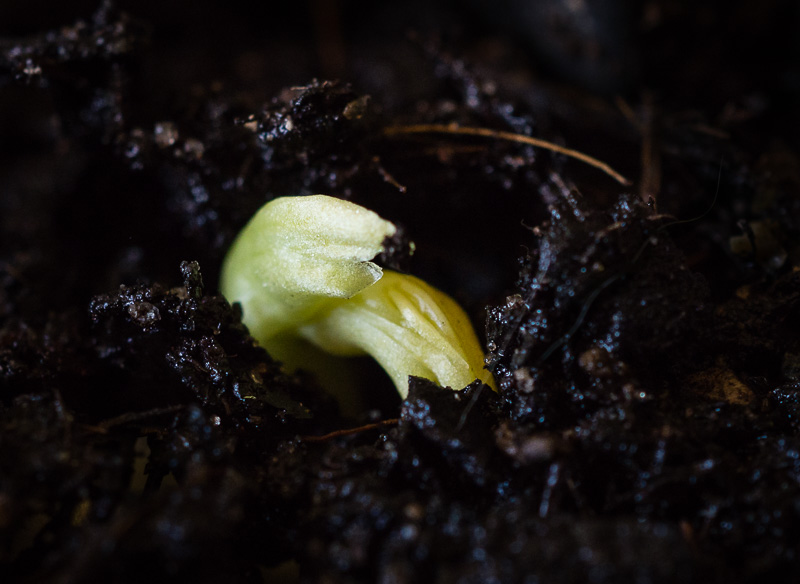 Emerging broad bean seedling, breaking through the dark soil.