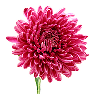 Chrysanthemum  (Cheerfulness under Adversity)