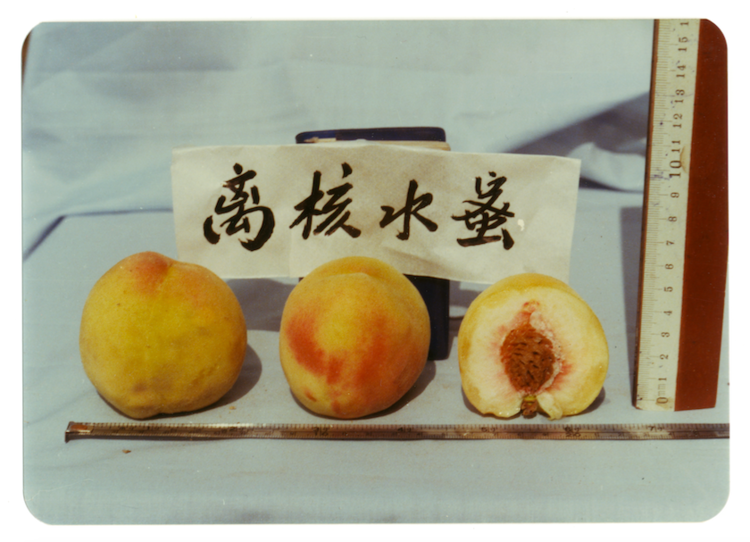 Different types of peaches , photographies en couleur, années 1990. Autorisation: The Archive of Modern Conflict