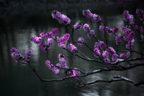 Shen Wei,  Cherry Blossoms , 2015. Impression pigmentaire. © Autorisation de l'artiste et de Flowers Gallery (Londres/New York).