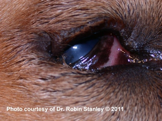 Entropion in a dog: Note the inward rolling of the eyelids