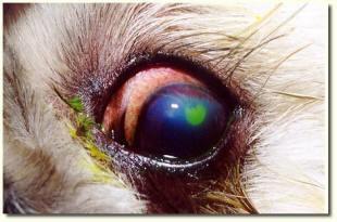 Fluorescein dye showing a corneal ulcer