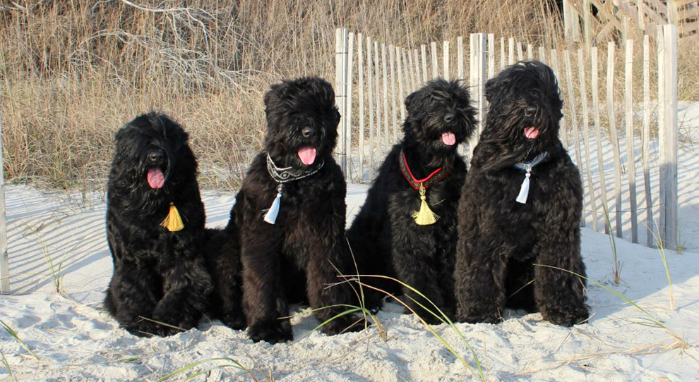 History Of The Black Russian Terrier Guardian Bears Kennel