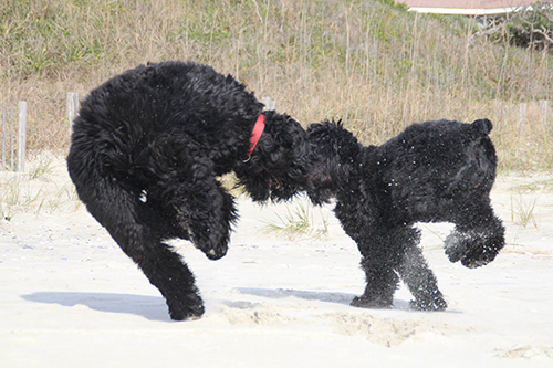The Dance of the Guardian Bears - Maks (left) with Sister Ziva