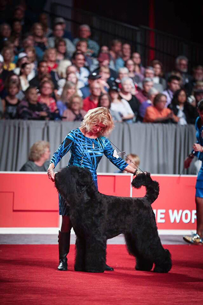 Oli takes Best of Breed and Working Group 4 at 2017 AKC National Championship
