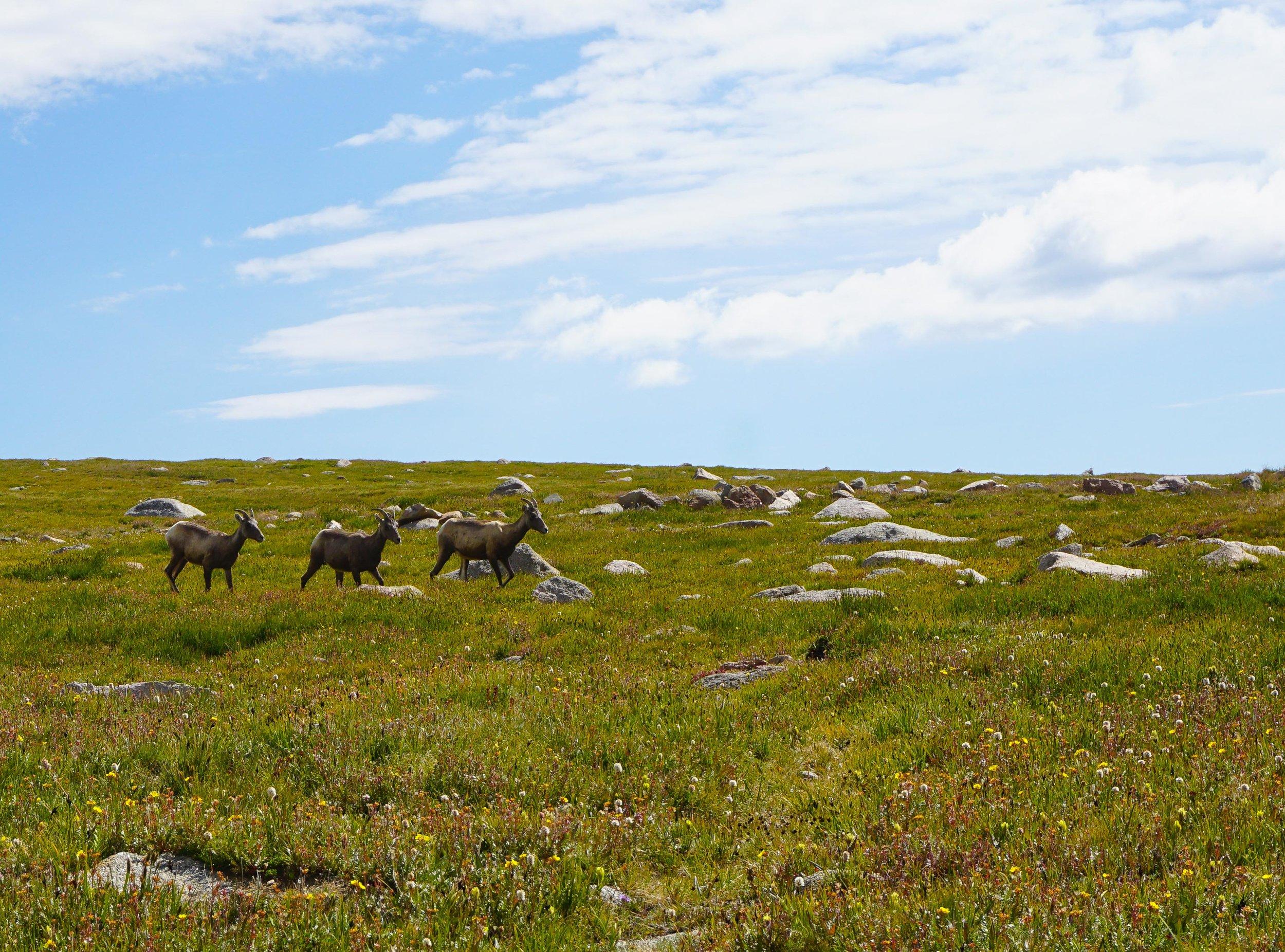 Rocky Mountain Bighorn Sheep at Summit Lake