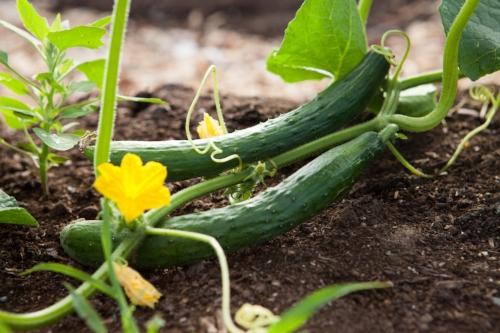 cucumbers.jpg