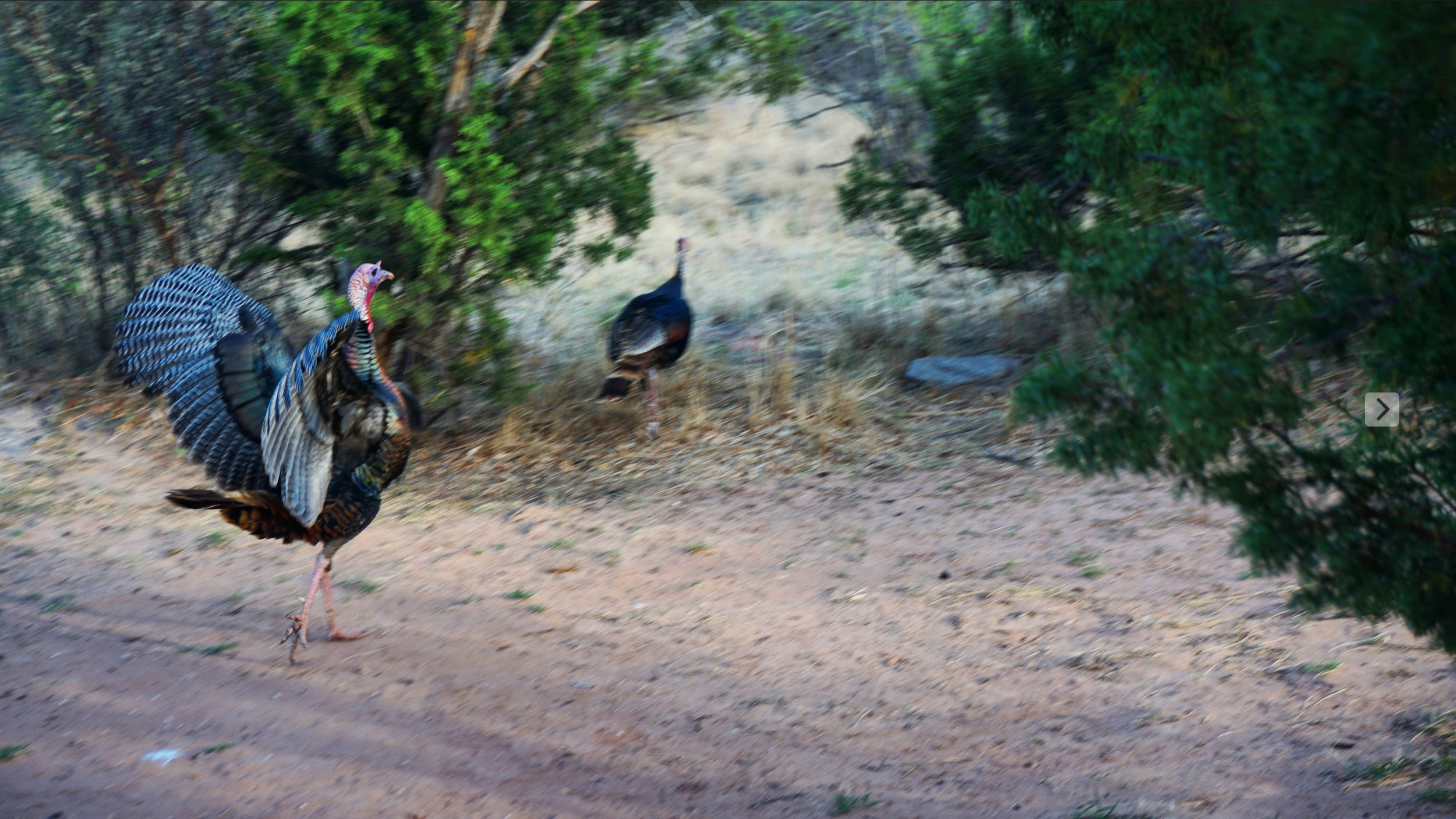 Wild Turkeys, Palo Duro Canyon