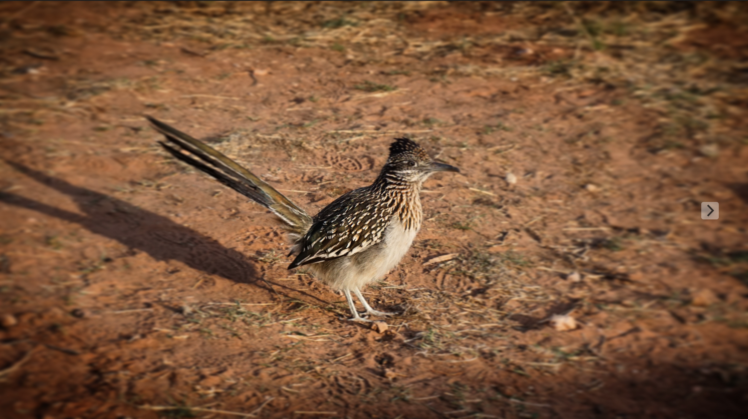 Road Runner, Palo Duro Canyon