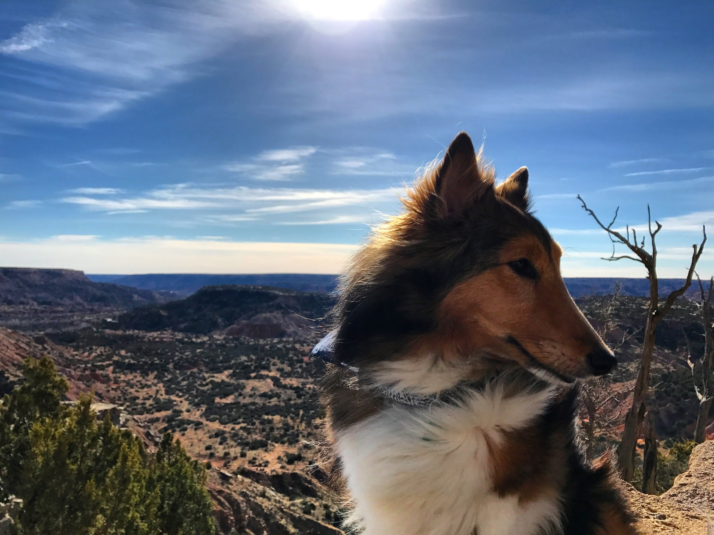 sheltie on the palo duro canyon rim