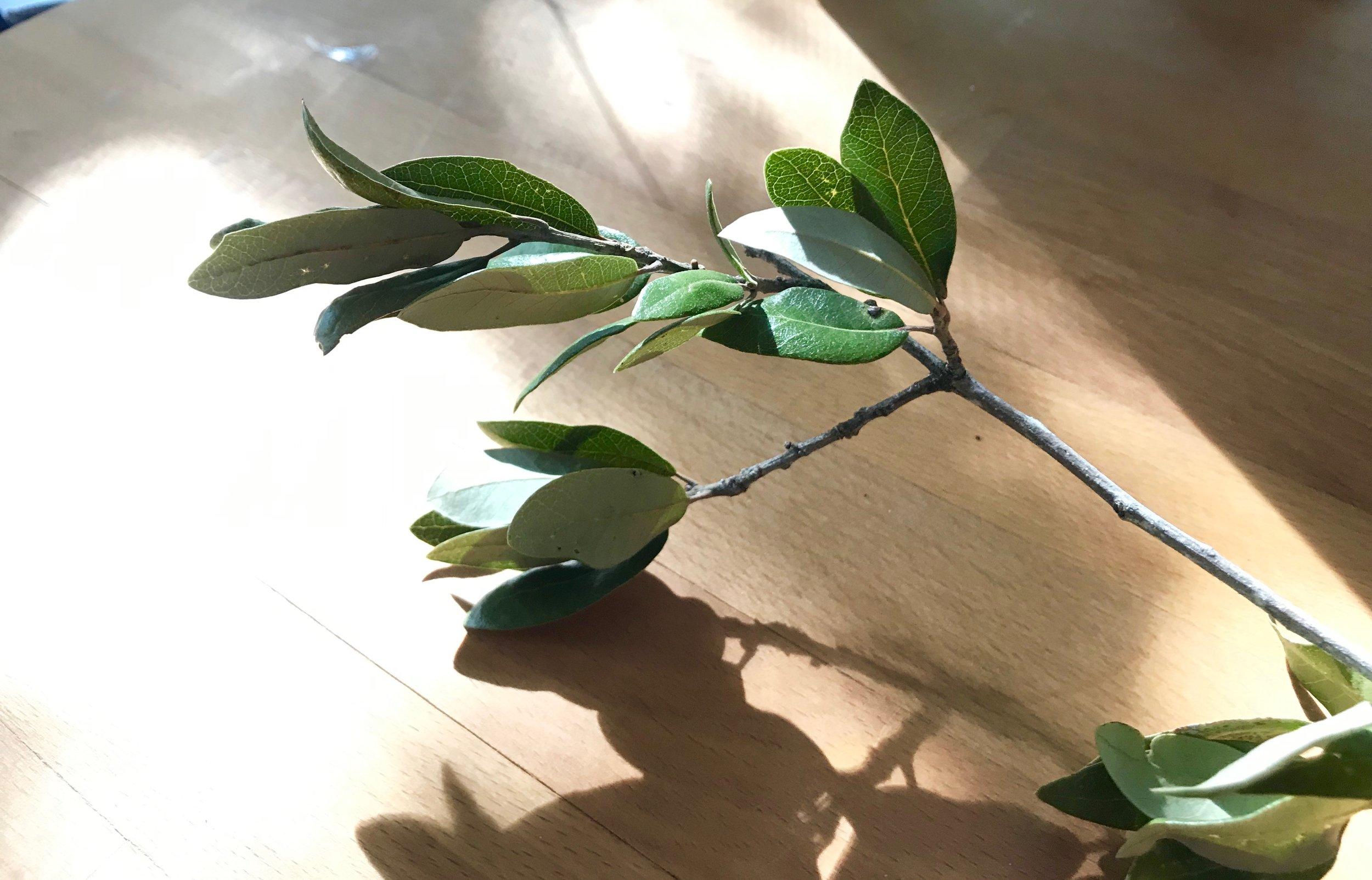 Live Oak Branch
