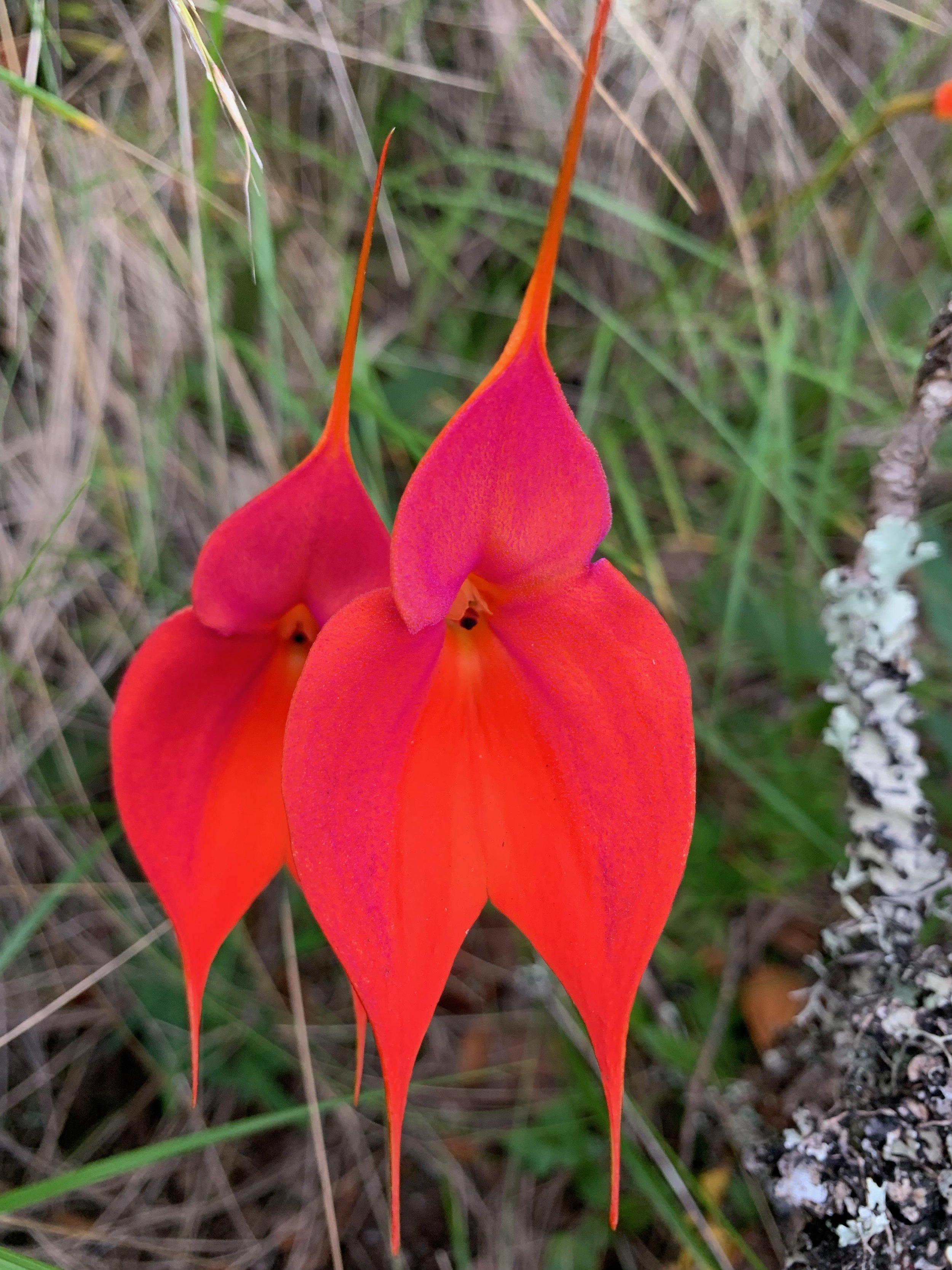 Masdevallia veitchiana Orchid