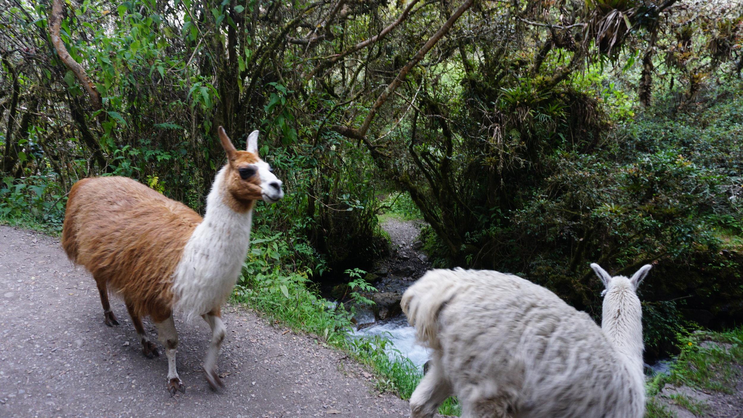 Double Llama