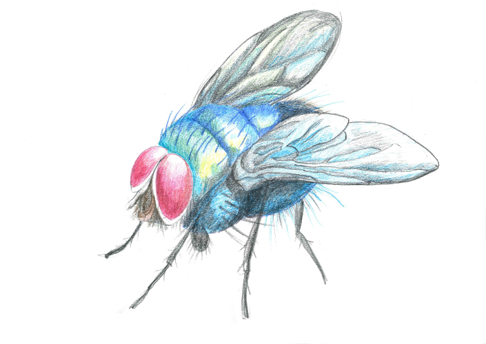 Rainbow fly.jpg