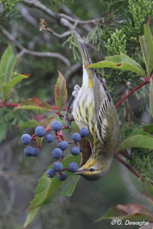 image:  Native Berries for Fall Migrants , Backyards for Nature Blog